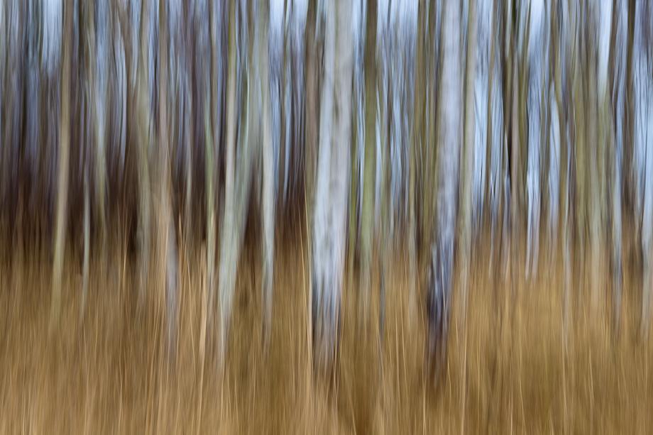 Blur Birch Trees in Colour