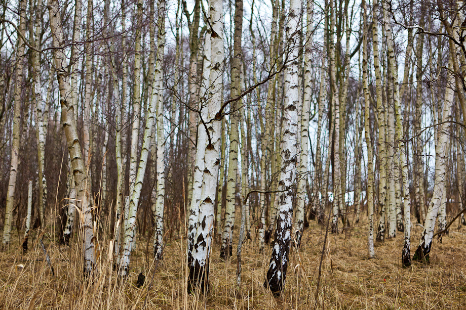 Natural Birch Trees in Colour