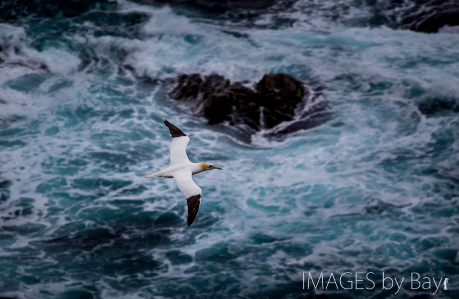 Image of Northern gannet