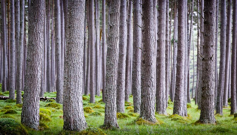 Panorama image of Scottish Woodland